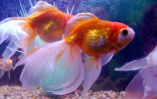Gold Fish, Gold Fish