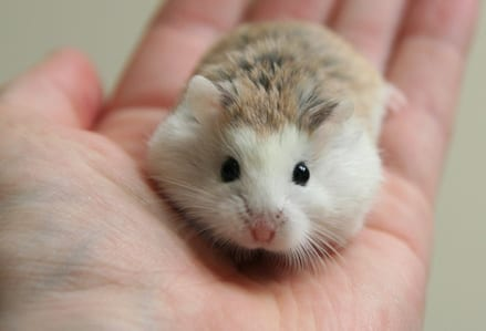 Top 10 Cutest Pets You Should Keep, Ducks, Pandas, Hamsters