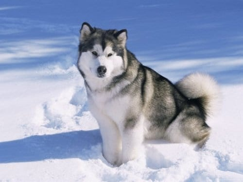 Top 10 Most Dangerous Dogs In The World, Alaskan Malamutes