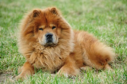 Top 10 Most Dangerous Dogs In The World, chow chow