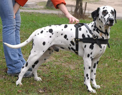 Top 10 Most Dangerous Dogs In The World, Dalmatians
