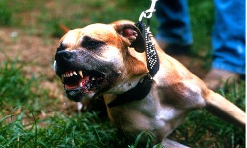 Pit Bulls, worlds most dangerous dog