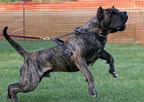 Top 10 Most Dangerous Dogs In The World, Presa Canario