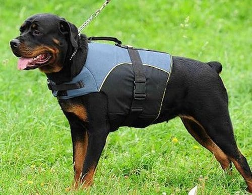 Rottweiler, 2nd most dangerous dog breed in the world