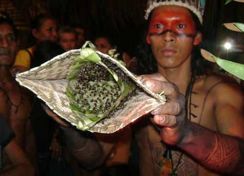 Venom-injecting Satere-Mawe tribe of the Amazon