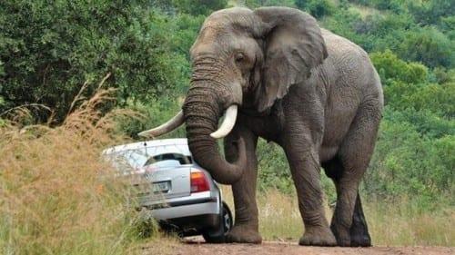 Top 10 Most Dangerous Animals - 1. Elephant