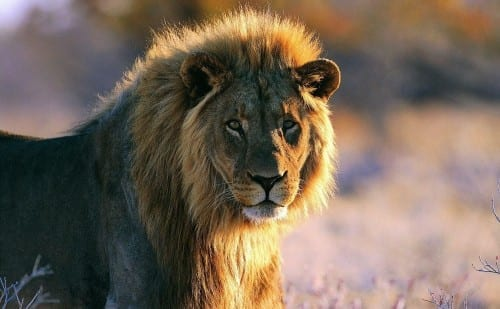 Top 10 Most Dangerous Animals - African lion
