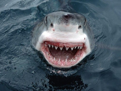 Top 10 Most Dangerous Animals - White Shark
