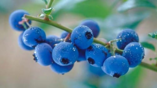 Best Fat Burning Foods - Blueberries