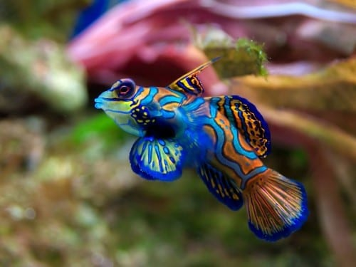 Most Beautiful Creatures - 4. Mandarinfish