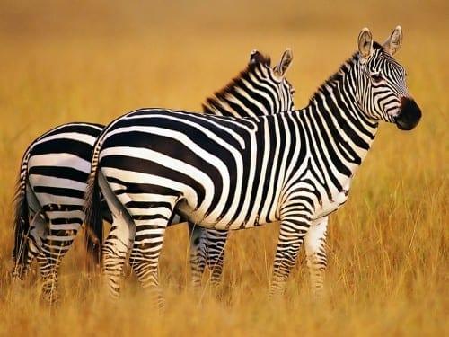 Most Beautiful Creatures - 5. Zebra