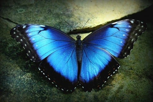 Most Beautiful Creatures - 7. Blue Morpho Butterfly