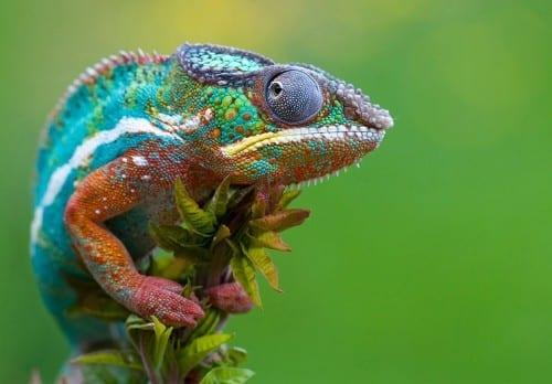 Most Beautiful Creatures - 8. Chameleon