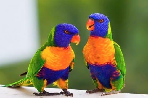 Most Beautiful Creatures - 9. The Rainbow Lorikeet