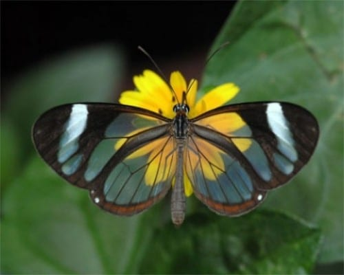 Most Amazing Transparent Animals - Glasswinged butterfly