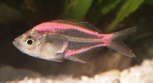 Most Amazing Transparent Animals -  Transparent Fishes