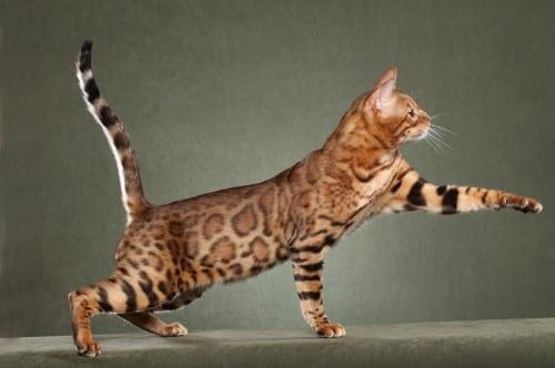Most Beautiful Cat Breeds -Bengal Cat breed