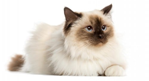 Most Beautiful Cat Breeds - Birman Cat Breed