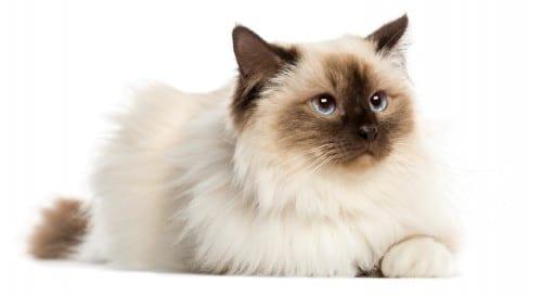 Most Beautiful Cat Breeds - Birman Cat Breed