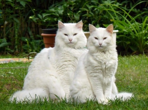 Most Beautiful Cat Breeds - Norwegian Forest Cat