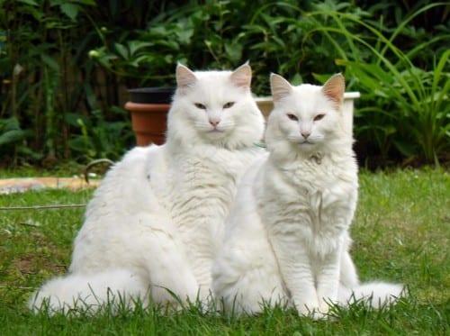 Most Beautiful Cat Breeds - Norwegian Forest Cat