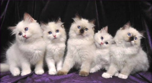 Most Beautiful Cat Breeds - Ragdoll Cat Breed