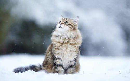 Most Beautiful Cat Breeds - Siberian Cat