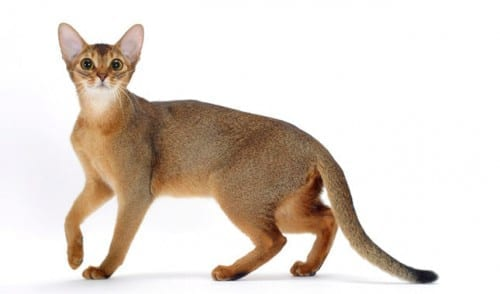 Most Beautiful Cat Breeds - The Abyssinian cat