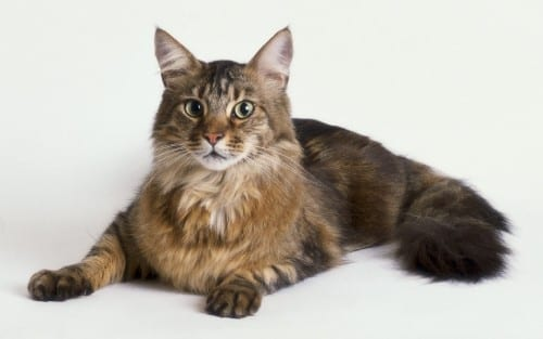 Most Beautiful Cat Breeds - The Maine Coon