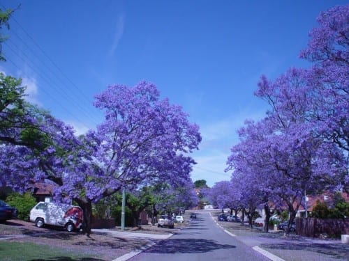 Most Beautiful Things In The World - Blue Jacaranda