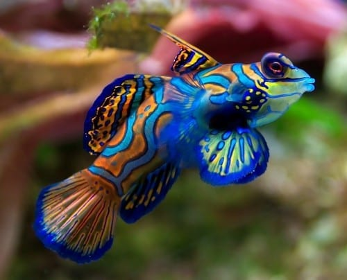 Most Beautiful Things In The World -The Mandarin Fish